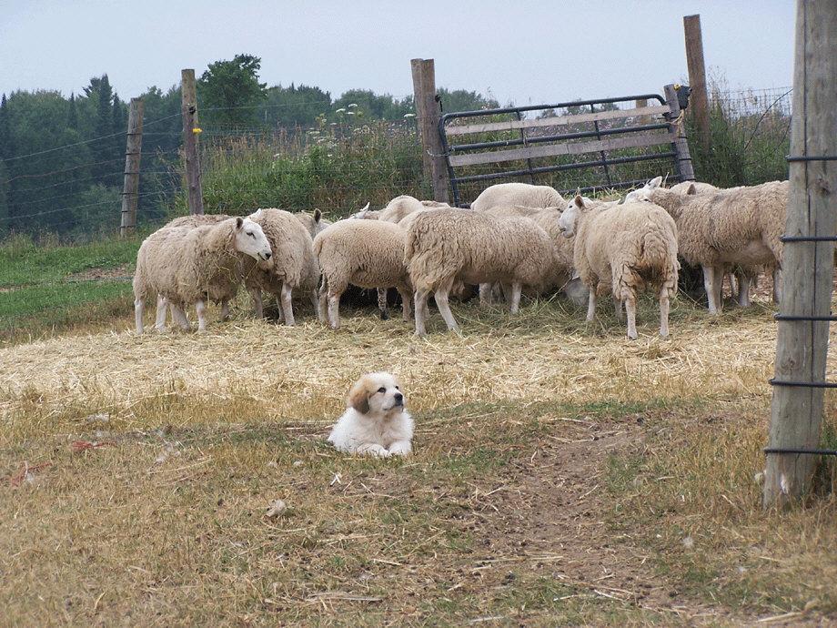 Dr. Thomas M. Gehring: LGDs & Sheep