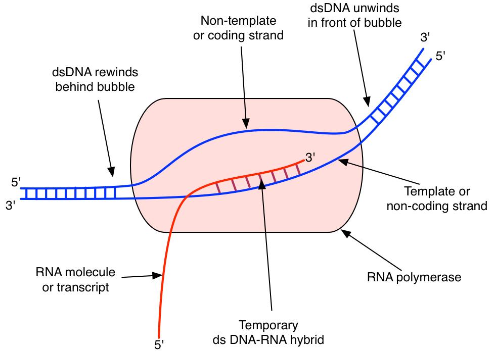 UNIT 1 UNIT 2 UNIT 3 UNIT 4 Bb @ CMU MAIN UNIT 1 UNIT 2 DNA/RNA    Replication   Expression   Gene Regulation   Mutations   Gene Transfer    Viruses RNA molecules RNA polymerase and the process of transcription  Principles of translation and the ...people.cst.cmich.edu